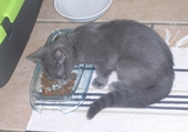 petit chaton qui mange