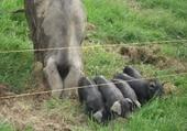 Maman cochonne et ses petits
