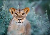 Puzzle gratuit lionne