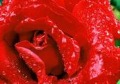 Puzzle Puzzle rose trop belle !!!!!!!!!!!!!!!!