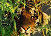 Puzzle tigre tros beaux
