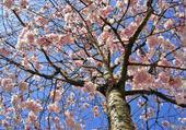 Puzzle gratuit prunus en fleurs par h
