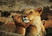 Puzzle lionne et lionceau