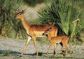 Jeu puzzle Antilope
