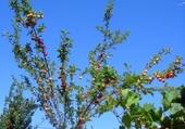 Puzzles cerisier d'été