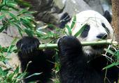 Puzzle en ligne panda