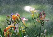 freezias sous la pluie