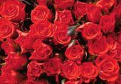 Puzzle roses !!