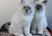 Jeux de puzzle : Beaux chatons