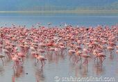 Puzzle Flamants roses au Kenya