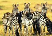 Puzzle Zèbres au Kenya