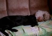 Puzzle en ligne mes 2 chiennes qui dorment sur le