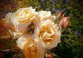 Puzzle Roses par hélène