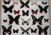 papillons tropicaux