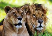 lion + lionne