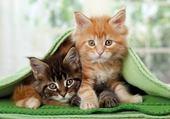 Puzzle Deux chatons sous une couverture