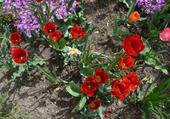 Puzzle Tulipes