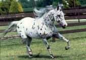 cheval apaloosa