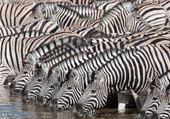 Puzzle Zebres