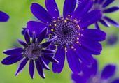 fleurs bleues pas hélène