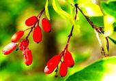 Arbuste à fruits inconnus par hél