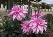 Dalhias roses