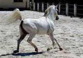 cheval arabe simiramis