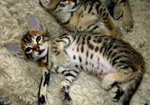 Puzzle Magnifique chattons Savannah