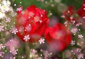 symphonie rose