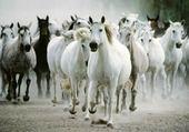 les chevaux !