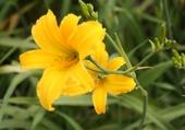 fleur jaune^par hélène