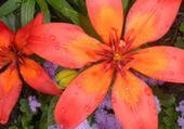 fleurs oranges par hélène