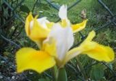 Puzzle iris de jardin