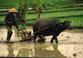ïle de Java - Indonésie