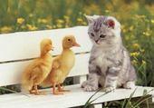 chaton et poussins