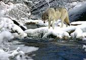 Puzzle loup dans la neige