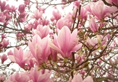 Tulipier en fleur