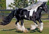 Cheval irlandais Irish cob
