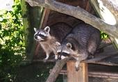 Couple de ratons -laveurs