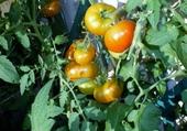 les tomates du balcon