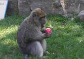 Un singe