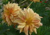 la fleur d'équateur