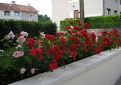 Haie de rosiers fleuris