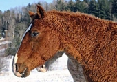 chevaux curly