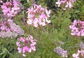 fleurs mauves par hélène