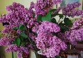 LILAS EMBAUME