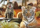 Puzzle tigre et chaton