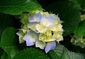 les  fleur  bleue