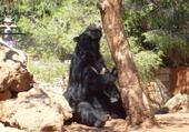 Un ours  en semi liberté