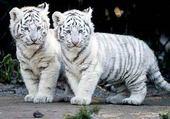 Puzzle Les deux petits tigres blanc